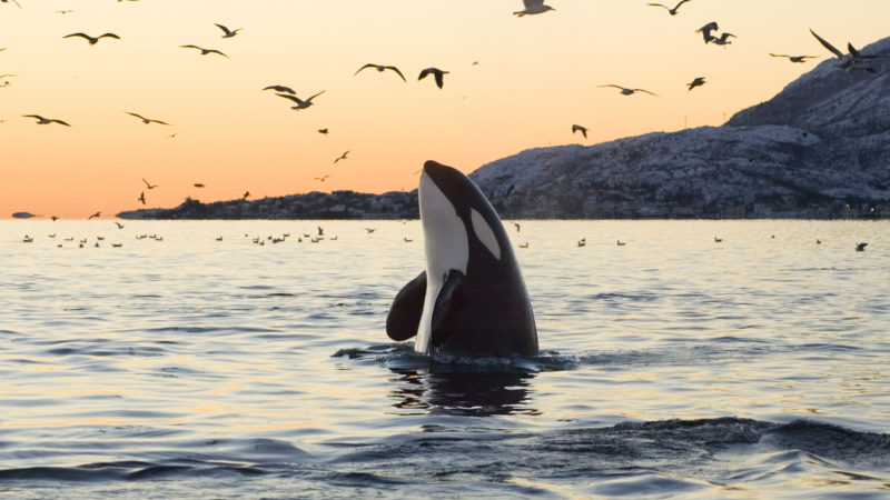 Should orcas have the same rights as people?