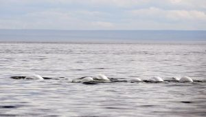 Group narrows search for beluga retirement site to two sites off Nova Scotia
