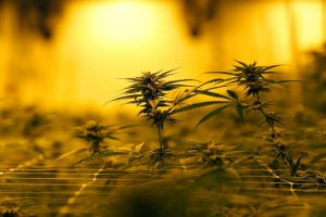 Cannabis stocks' 2019 skid showing few signs of easing